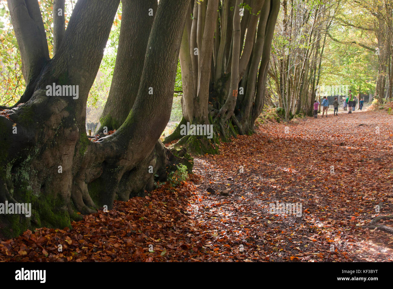 beech trees (fagus sylvatica) bearing their roots in the ancient woods at Devils Punchbowl, largest spring-sapped - Stock Image