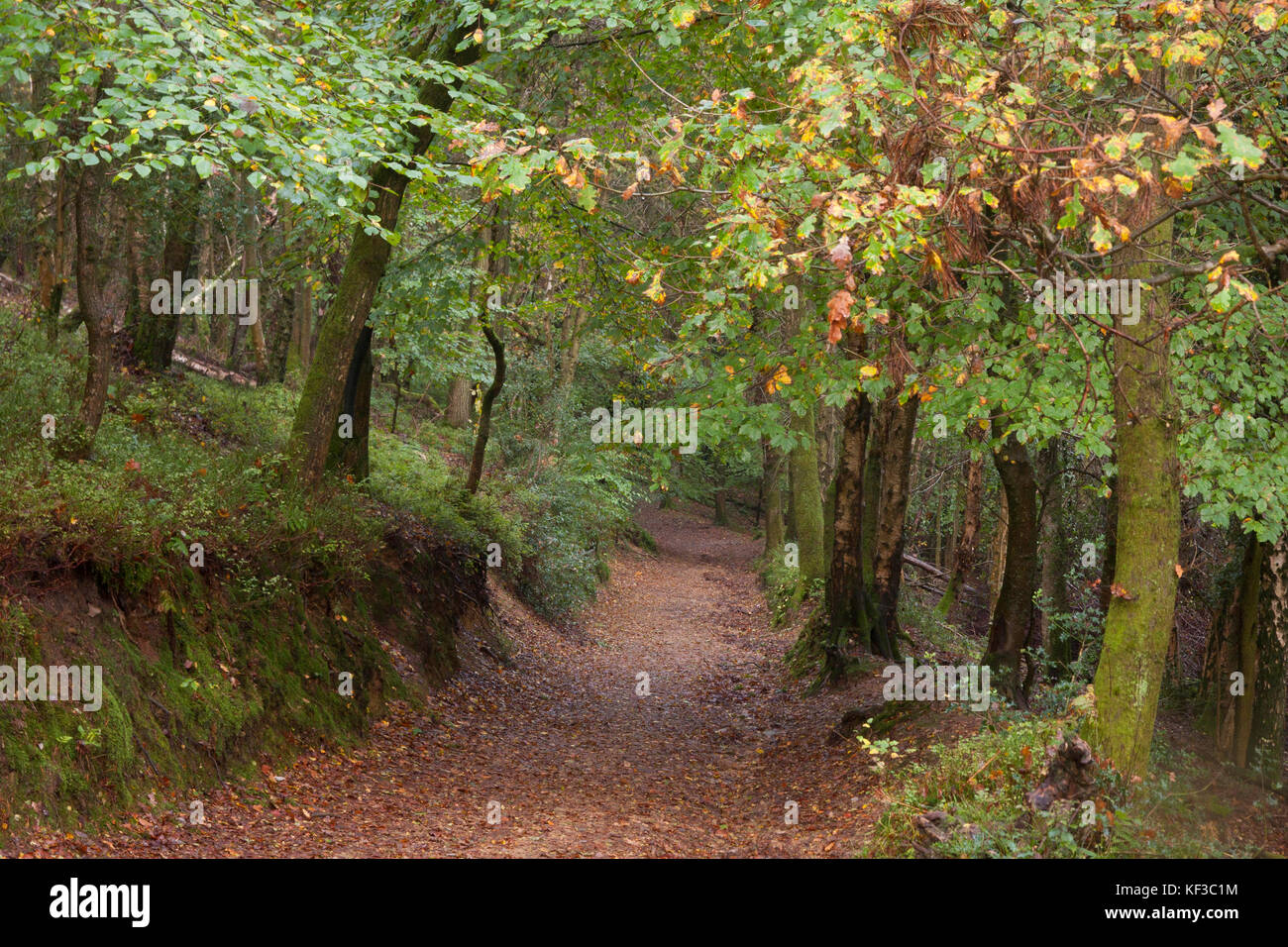 mixed deciduous trees in the ancient woods at Devils Punchbowl, the largest spring-sapped valley in Britain dating - Stock Image