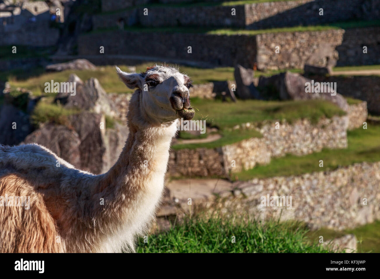 Llama chewing the grass with the terrace of Machu Picchu as a background, Cuzco region, Peru - Stock Image