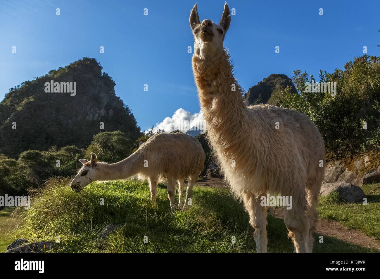Llamas eating grass on the meadow with Wayna Picchu mountain in the background, Macchu Pikchu, Cuzco Region, Peru - Stock Image