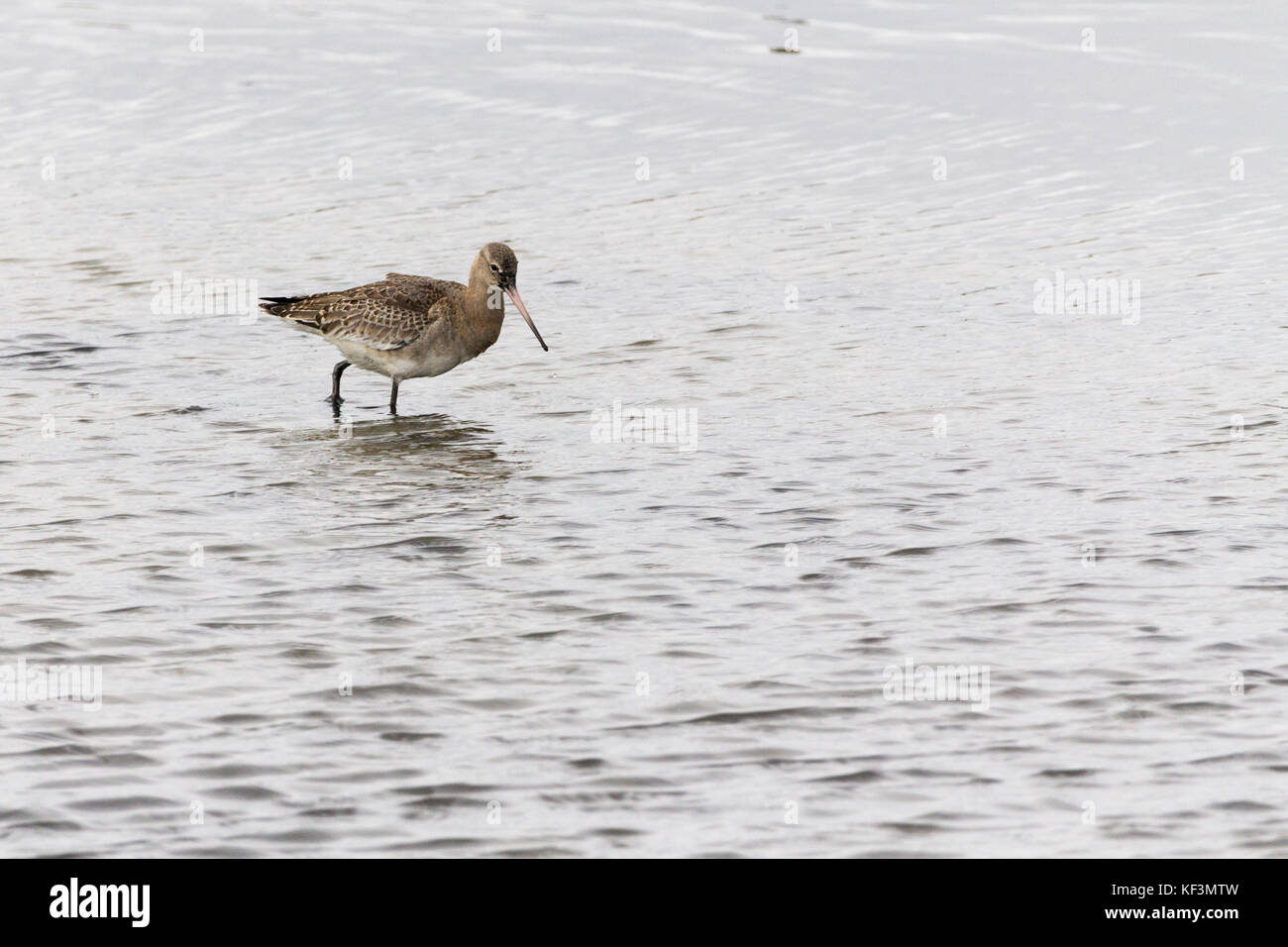 Bar tailed godwit (Limosa lapponica) wading in shallow water probing for marine worms and molluscs at Pagham harbour - Stock Image