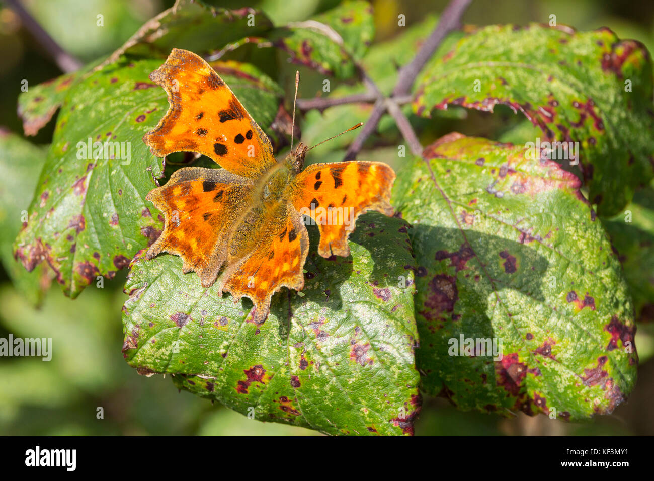 Comma or Polygonia c-album, butterfly on autmn leaves. Ragged appearance on edges of wings. Common British species - Stock Image