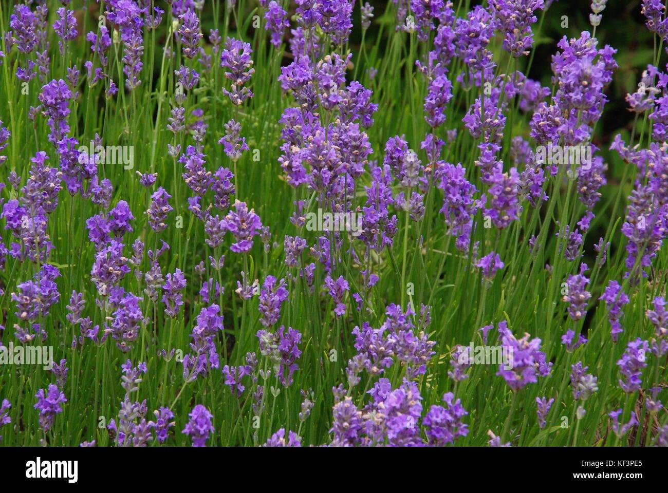 Lavender Garden - Stock Image