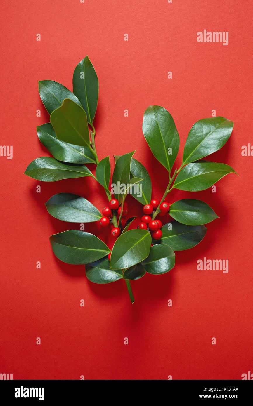 Christmas Holly (Ilex aquifolium) leaves and fruit on red background. - Stock Image
