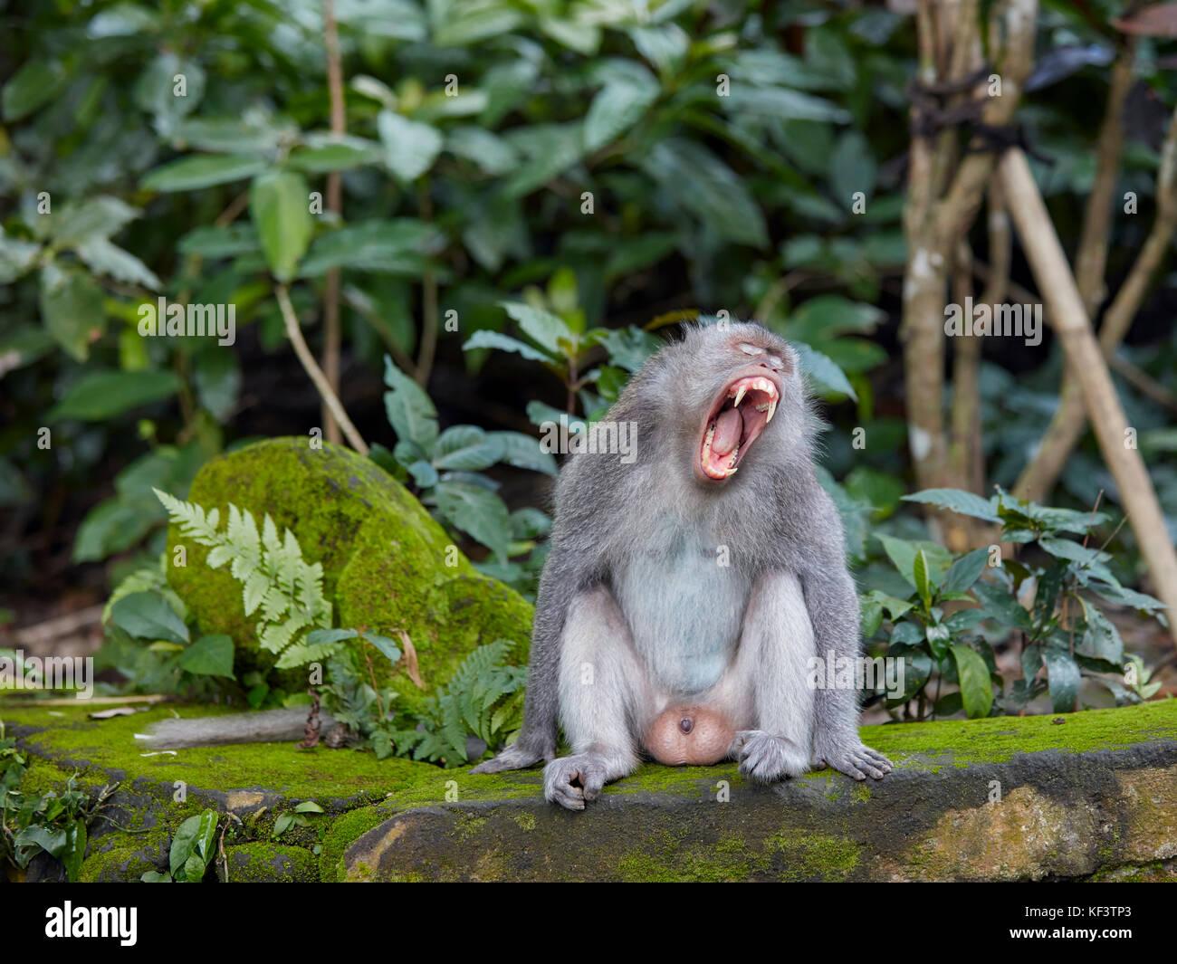 Male adult long-tailed macaque (Macaca fascicularis) yawning. Sacred Monkey Forest Sanctuary, Ubud, Bali, Indonesia. - Stock Image