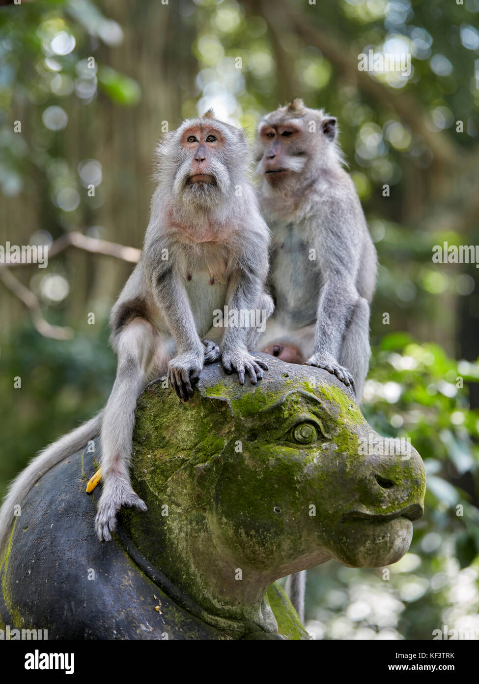 Long-tailed macaques (Macaca fascicularis) in the Sacred Monkey Forest Sanctuary. Ubud, Bali, Indonesia. - Stock Image
