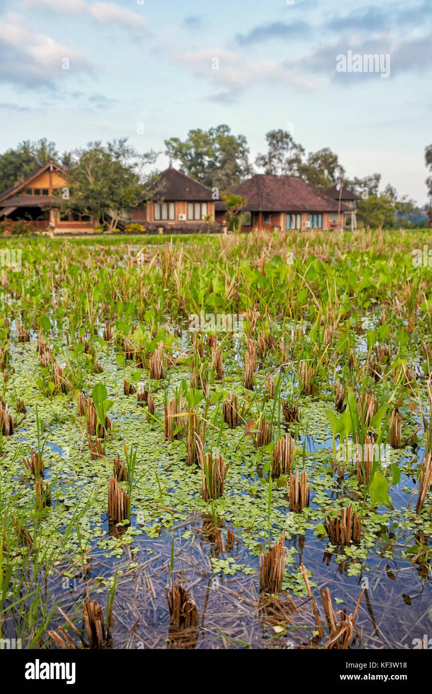 Rice paddy along the Campuhan Ridge Walk. Ubud, Bali, Indonesia. Stock Photo