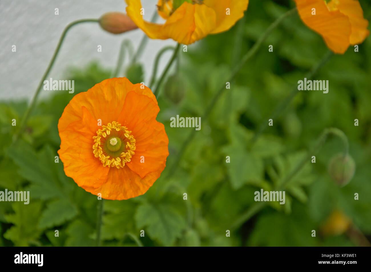 Yellow Poppies Plants Plant Stock Photos Yellow Poppies Plants