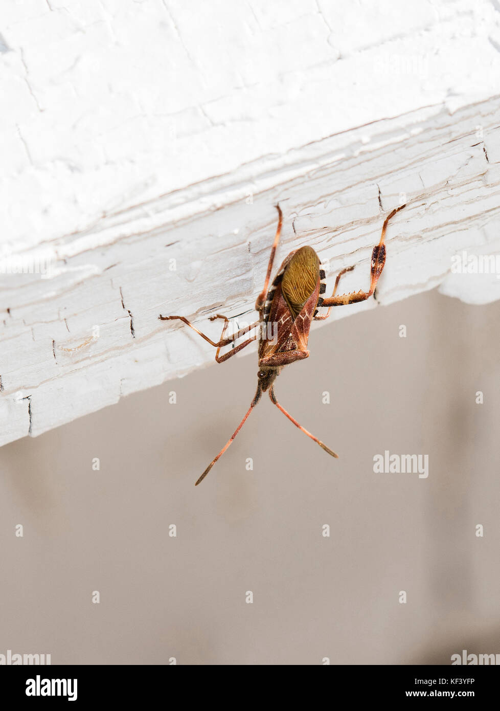 Macro of Western Conifer Seed Bug (Leptoglossus occidentalis) on an Old White Building - Stock Image