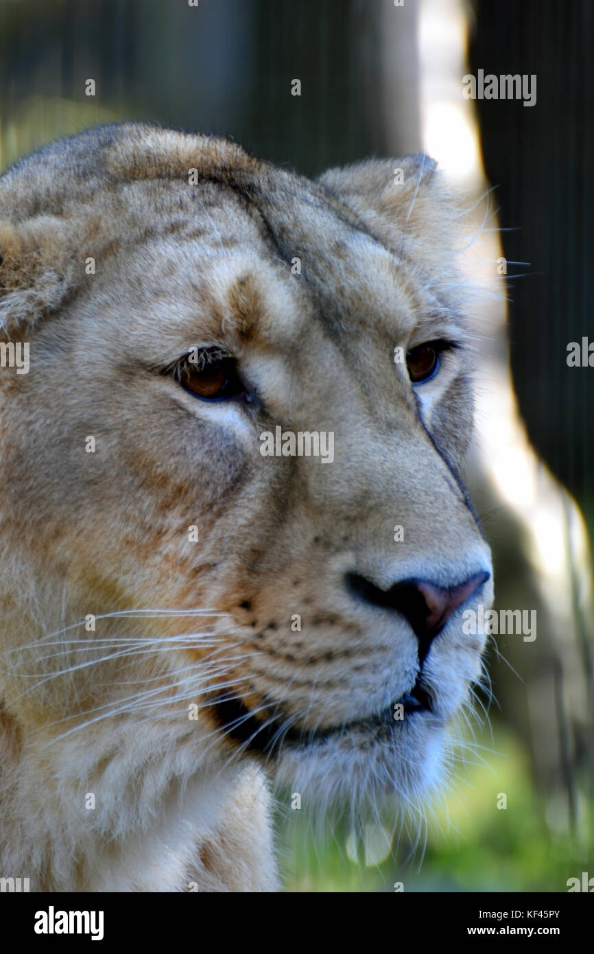 Close up of female Asiatic lion (Panthera leo persica) head, also known as the Indian lion and Persian lion. - Stock Image