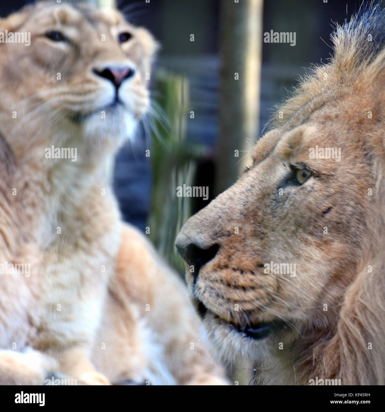 Lion and lioness. Asiatic lions portrait. Male on foreground side view and female on background. - Stock Image