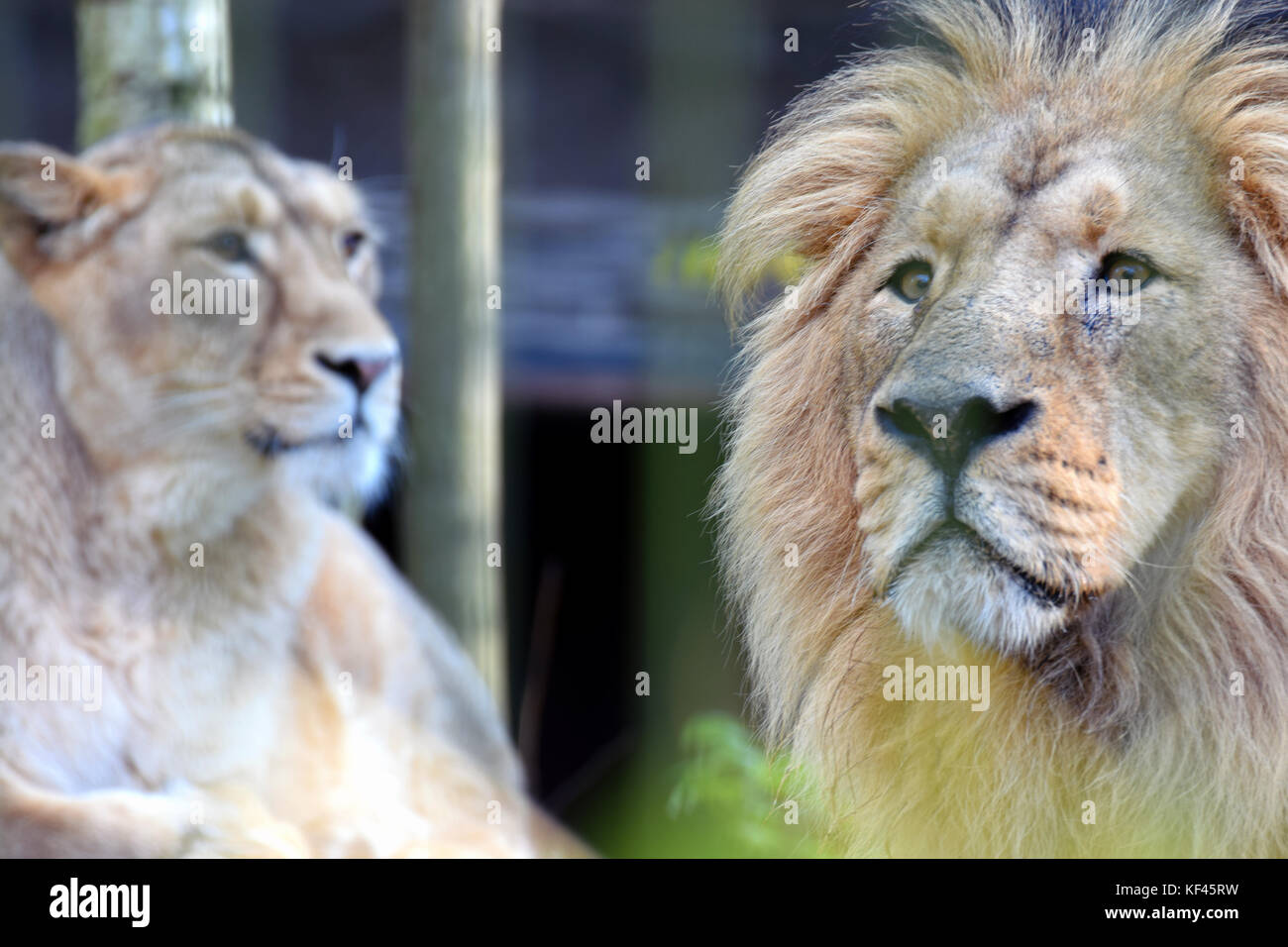 Asian lions (Panthera leo persica) couple, also known as the Asiatic, Indian or Persian lion. - Stock Image