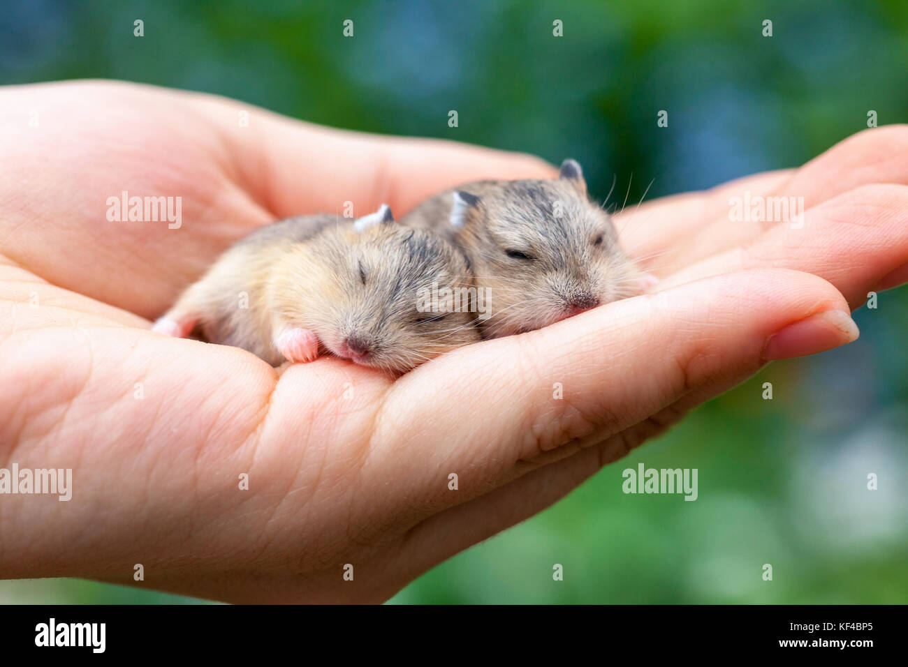 Person holding two cute sleeping baby hamsters in his palm outdoor