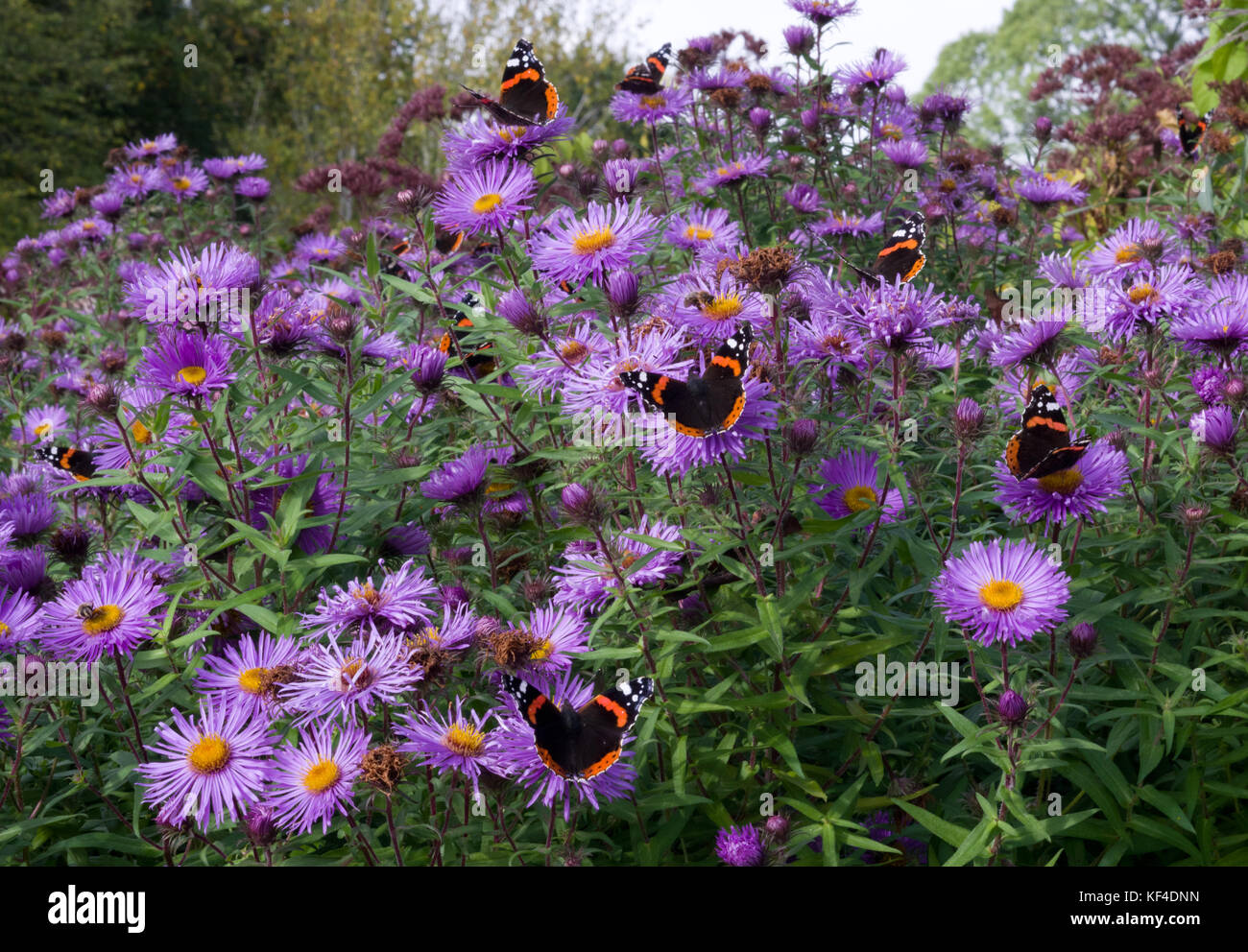 Michaelmas Daisies and Red Admiral butterflies - Stock Image