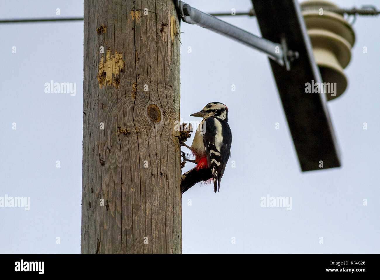 Finnish wildlife: great spotted woodpecker on a telegraph pole pecking a pine cone it has placed in a hole in the - Stock Image