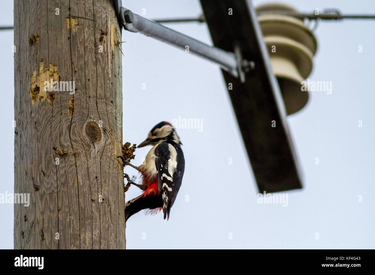 Finnish wildlife in action: great spotted woodpecker on a telegraph pole actively pecking a pine cone it has placed - Stock Image