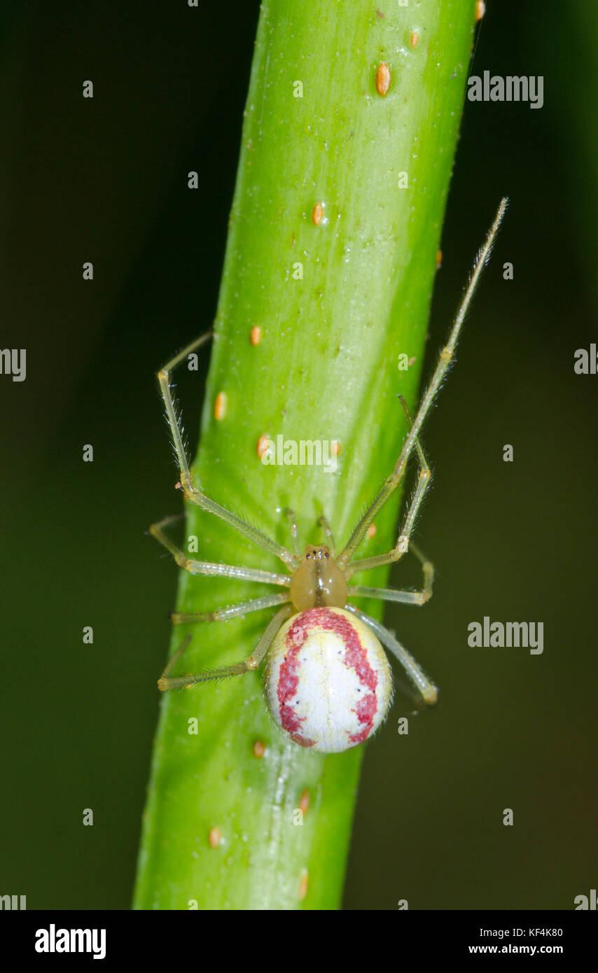 Female Candy-striped Spider (Enoplognatha ovata) form redimita - Stock Image