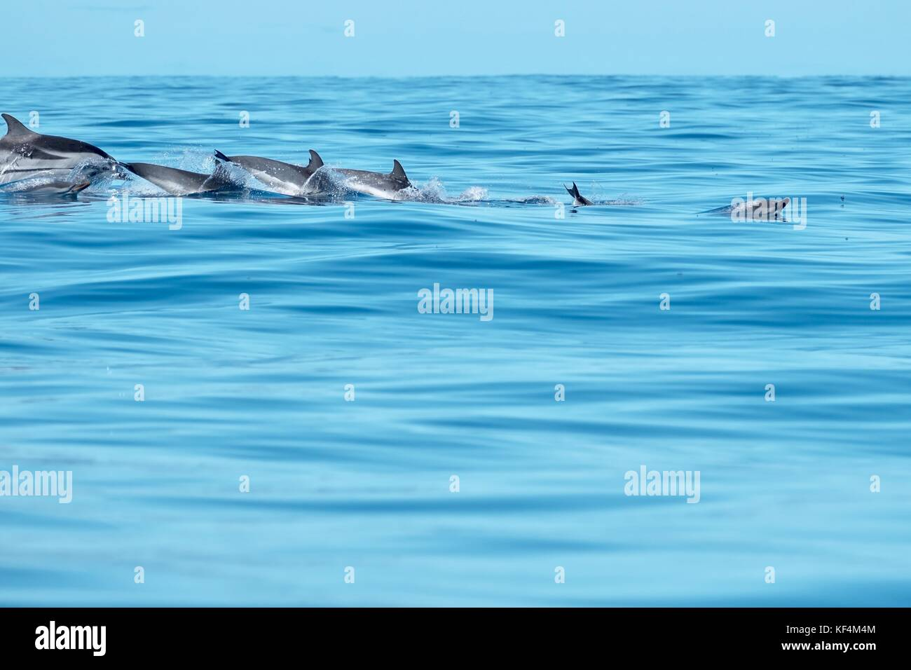 A pod of dolphins in the Azores. - Stock Image