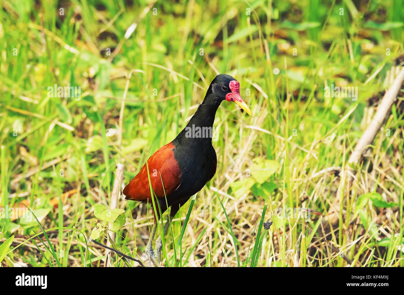 Black Bird With Orange Red On Wings 2