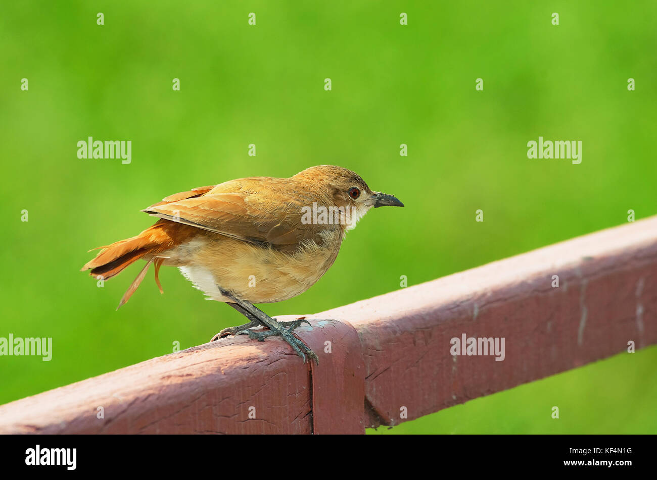 Joao-de-barro bird over a fence with a beautiful green blurred background. Photo of the Bird taken in Pantanal region, - Stock Image