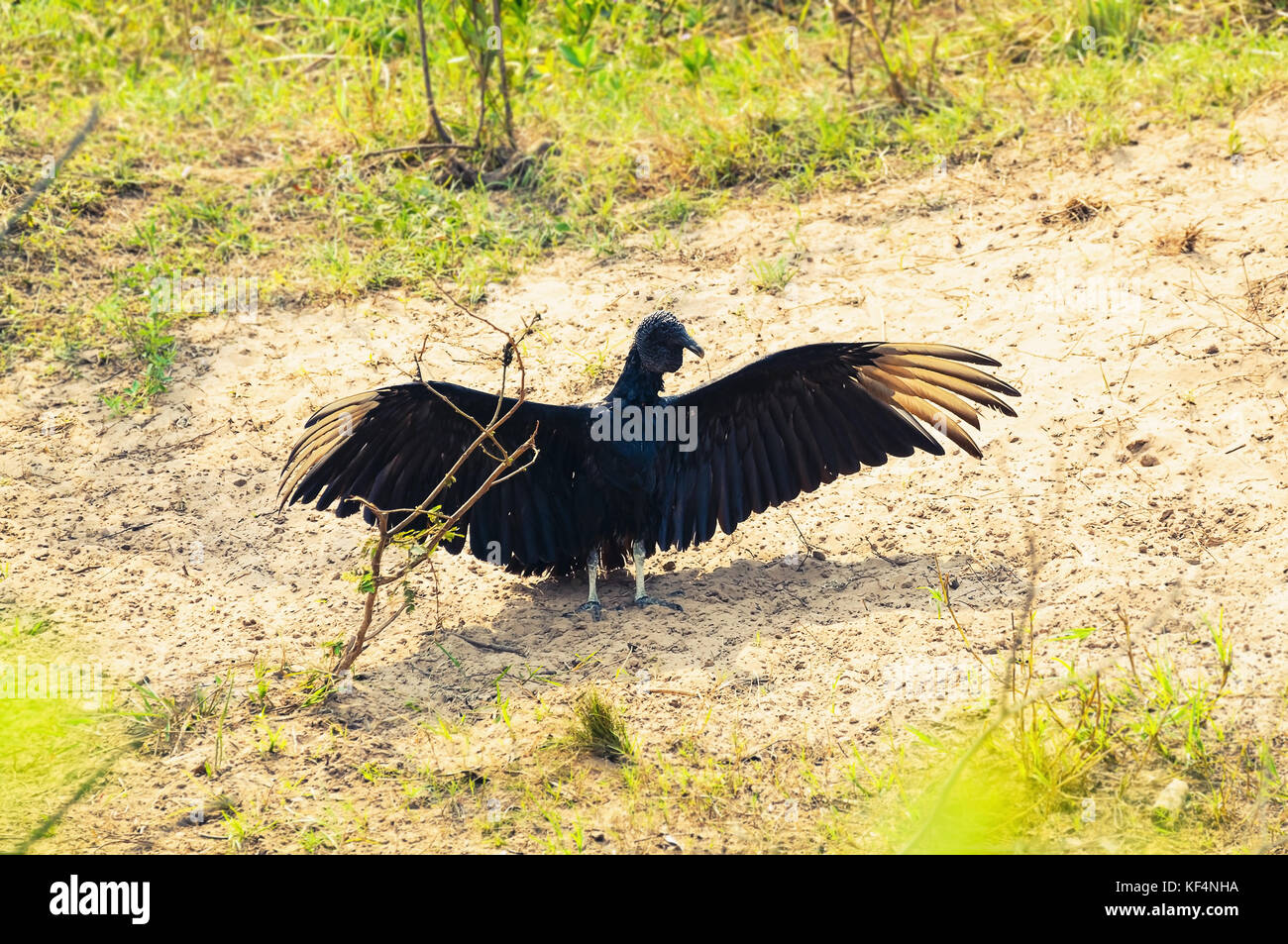 Black vulture Coragyps Atratus with open wings taking a sunbath on a sandy ground of Pantanal in Brazil. - Stock Image