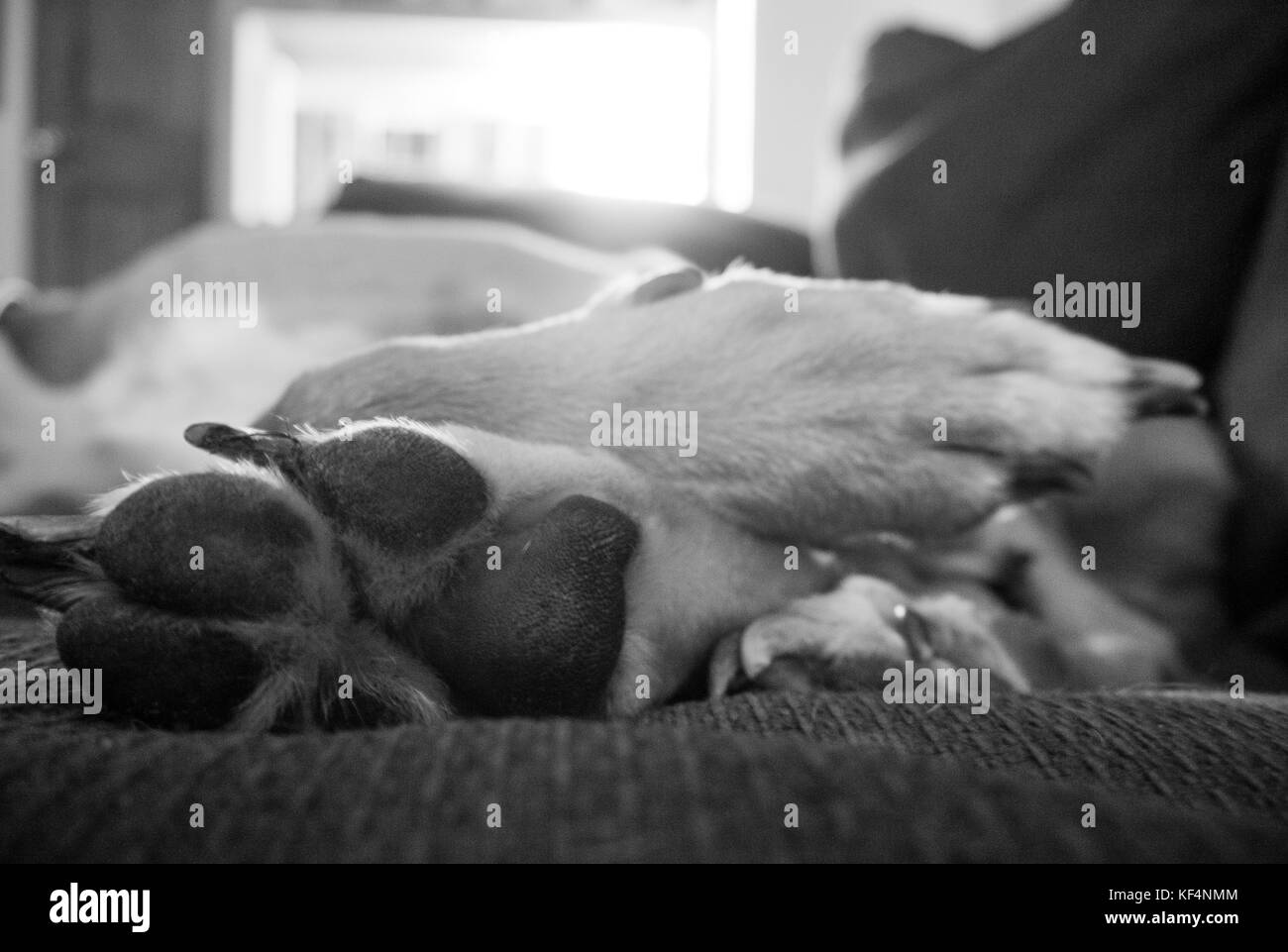 Black and white close up of a dog's paws on a sofa - Stock Image