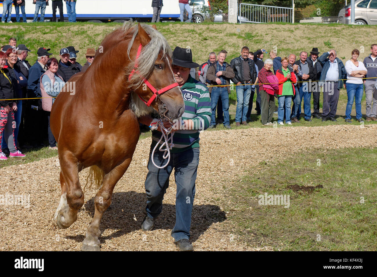 Authentic Slovenian coldblooded dray horse. Exhibition in Sentjur, Slovenia. - Stock Image
