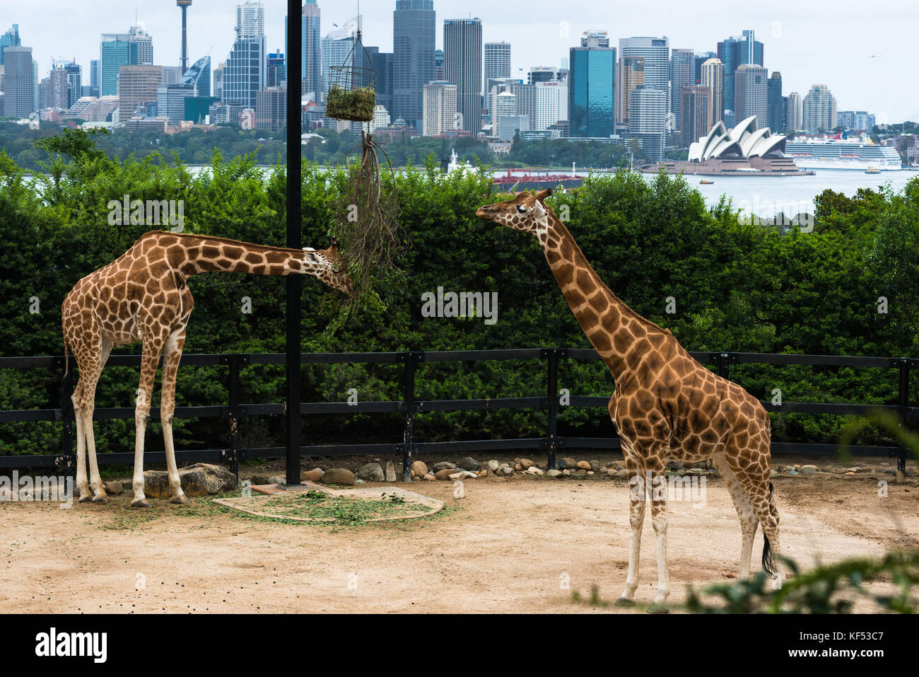 Tarronga zoo's Giraffes with Sydney city skyline to the rear. New South Wales, Australia. - Stock Image