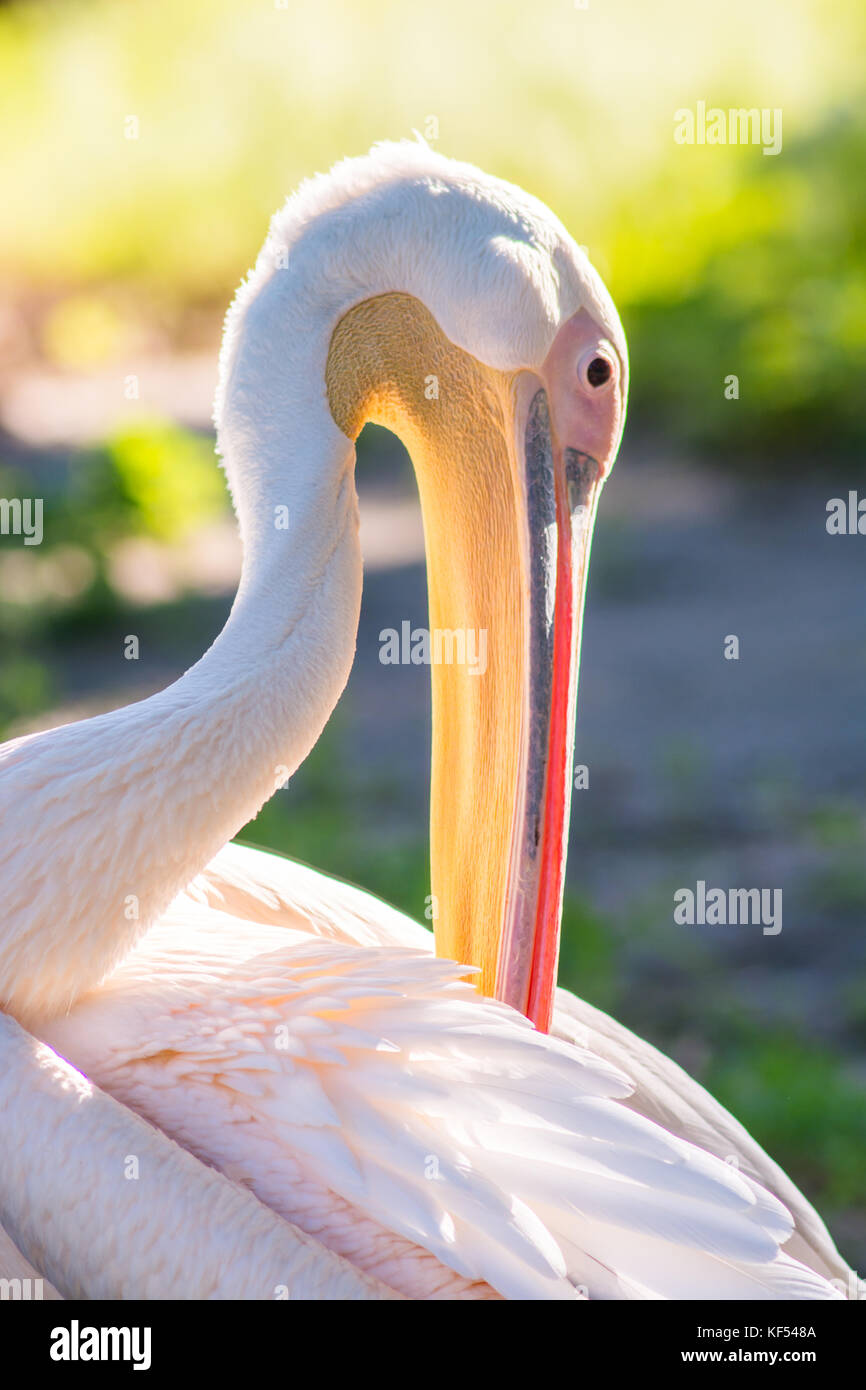 Pink pelican in natural nature close-up. Pelican, background, bird, rare, summer, pink, texture, nature, eye, animal, - Stock Image