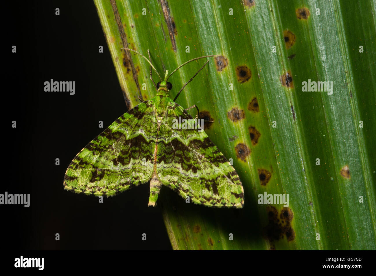 A small little moth that camouflages itself as a mos or lichen. - Stock Image