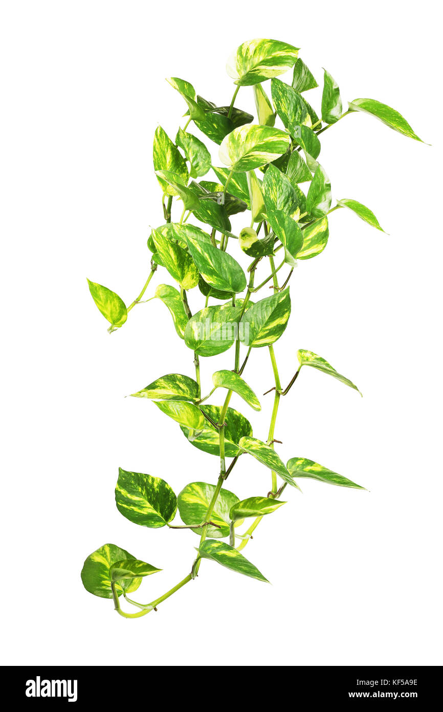 Pothos Plant High Resolution Stock Photography And Images Alamy