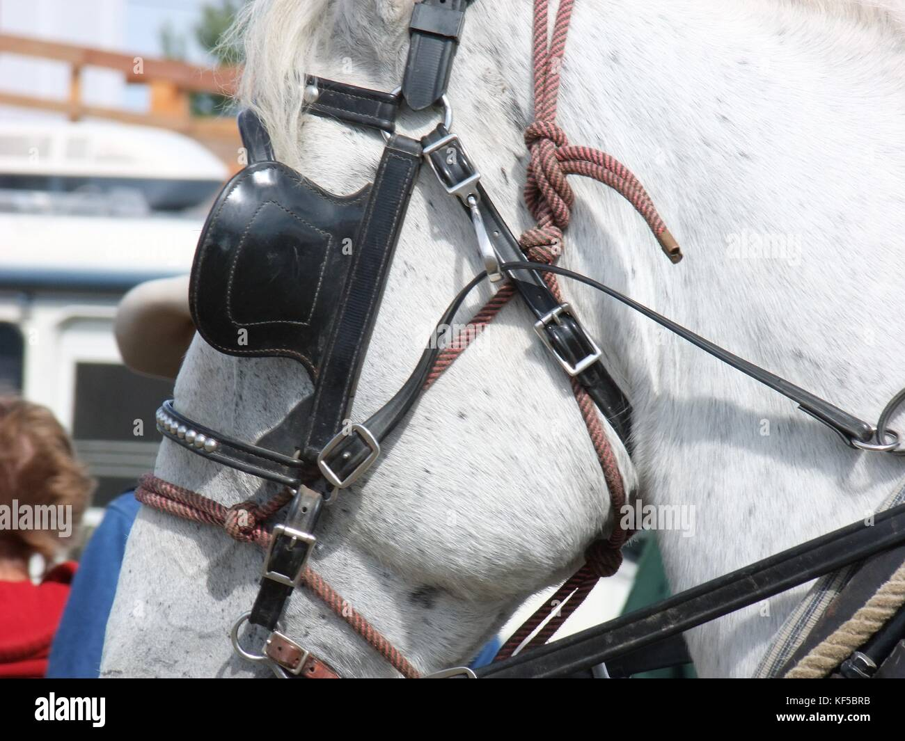 Draft horse in halter with blinkers - Stock Image