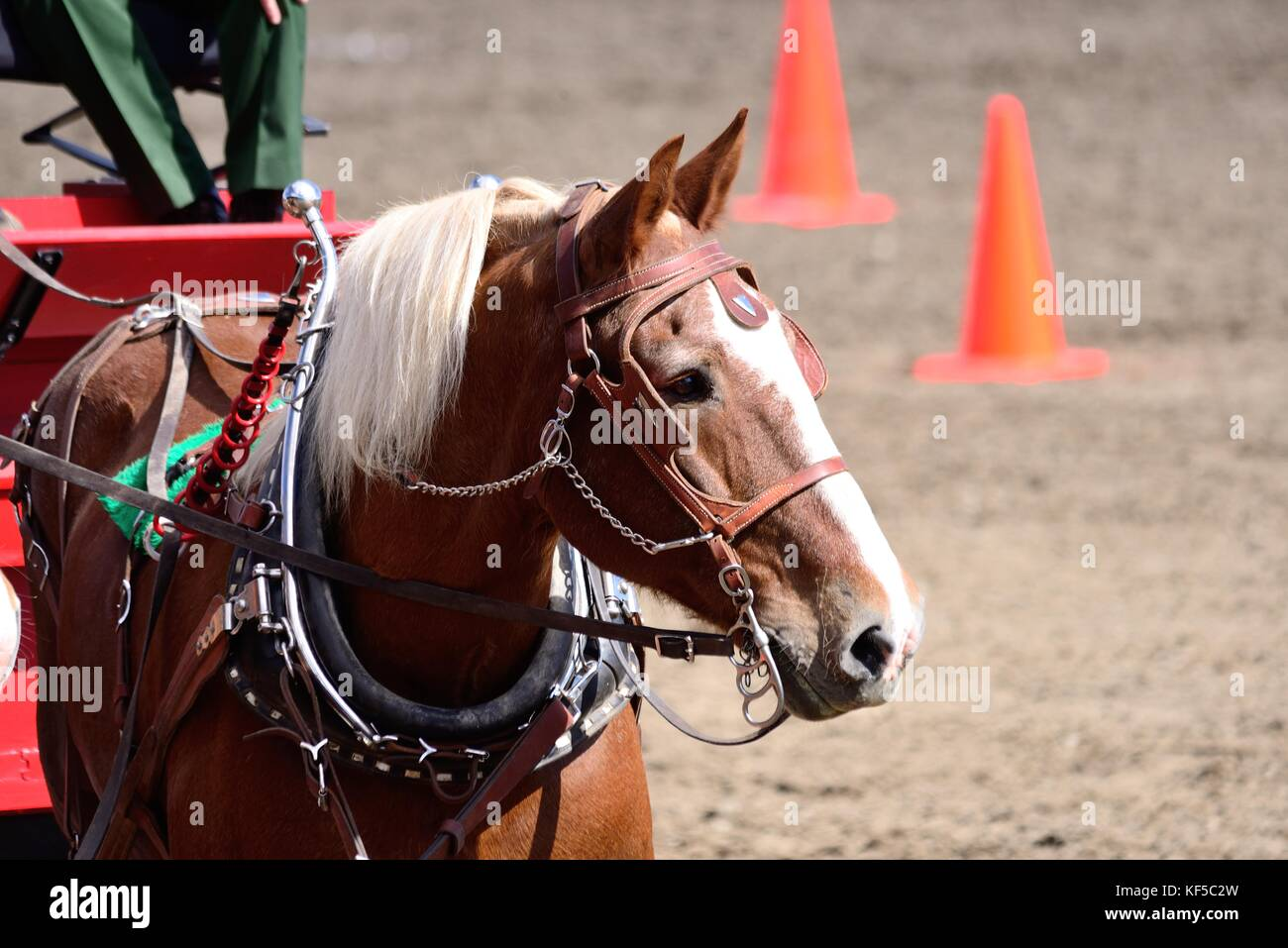 Draft horse at show. - Stock Image