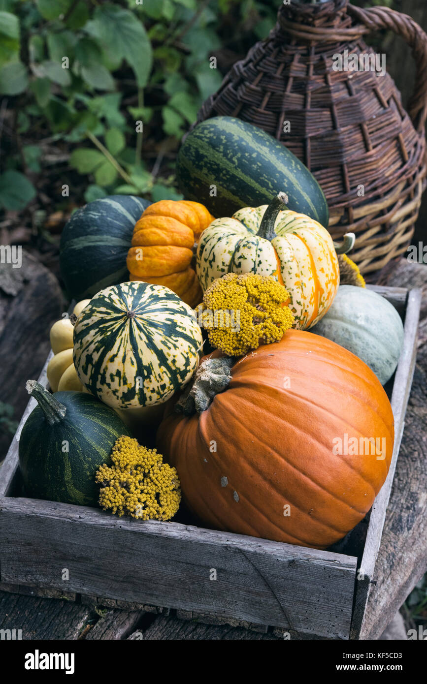 Pumpkins and gourds in a wooden box on display at Weald and Downland open air museum, autumn countryside show, Singleton, - Stock Image