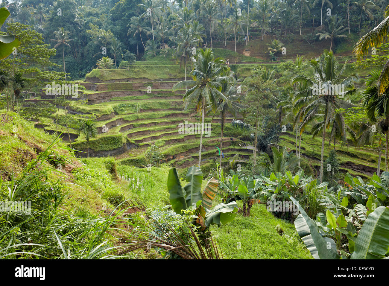 Tegalalang Rice Terrace. Tegalalang village, Bali, Indonesia. - Stock Image