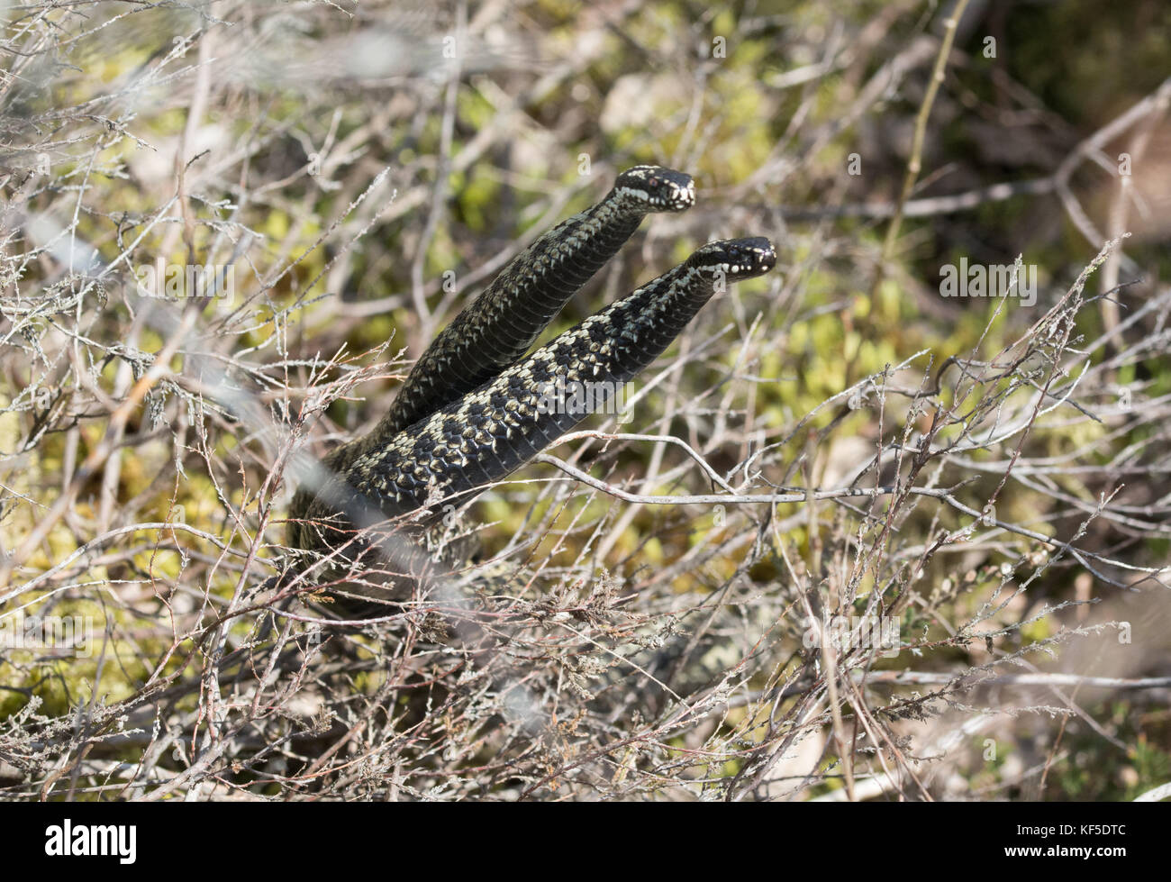 Two male adders (Vipera berus) fighting (dancing) for mating rights during the breeding season. Animal humour, humor - Stock Image