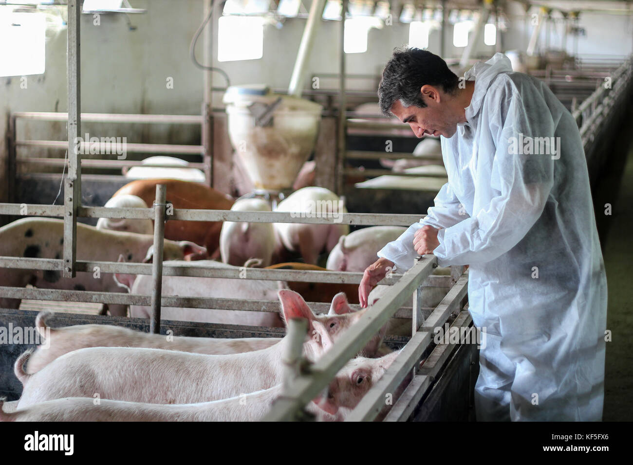 Intensive pig farming. Veterinarian doctor wearing protective suit. - Stock Image