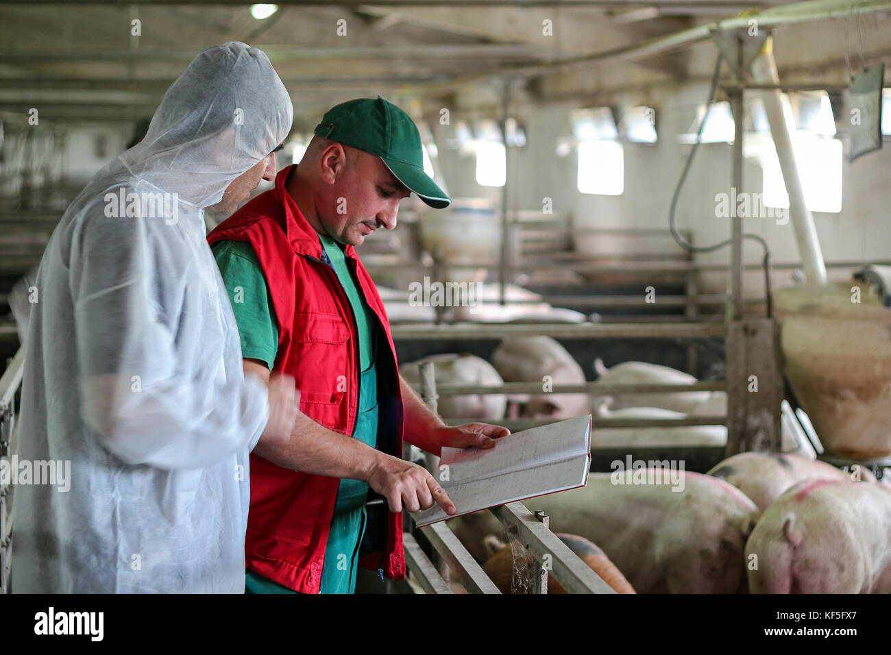 Veterinarian doctor examining pigs at a pig farm. Intensive pig farming. Pig farm worker. - Stock Image