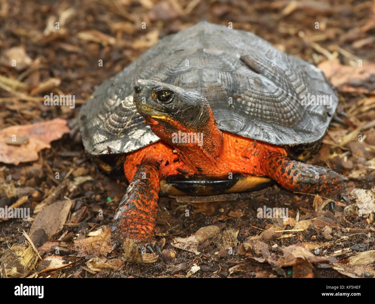 A Box Turtle pausing with its legs akimbo. - Stock Image