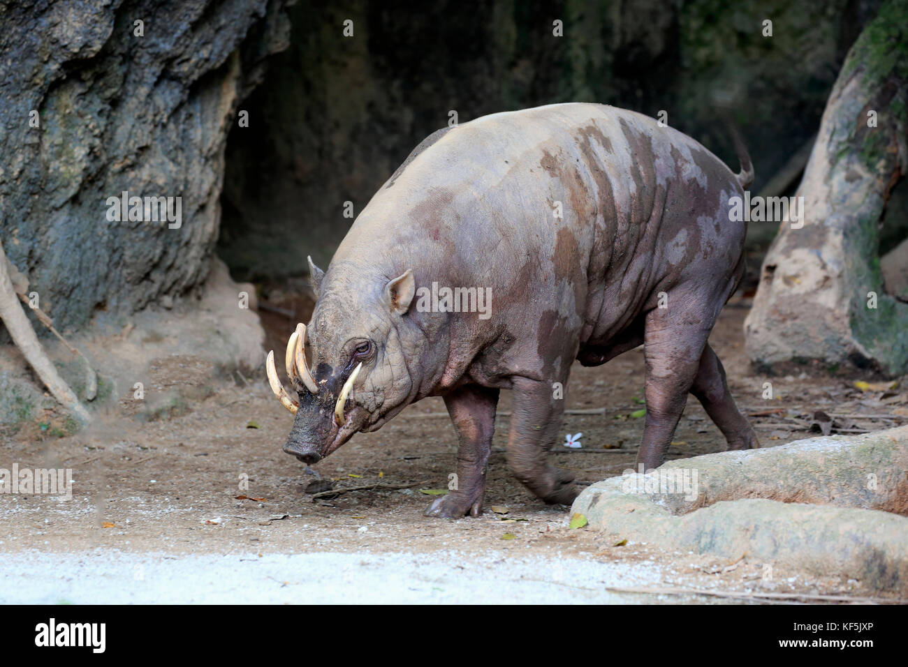 Moluccas Harteber (Babyrousa babyrussa), adult male to potions, captive, endemic to Sulawesi - Stock Image