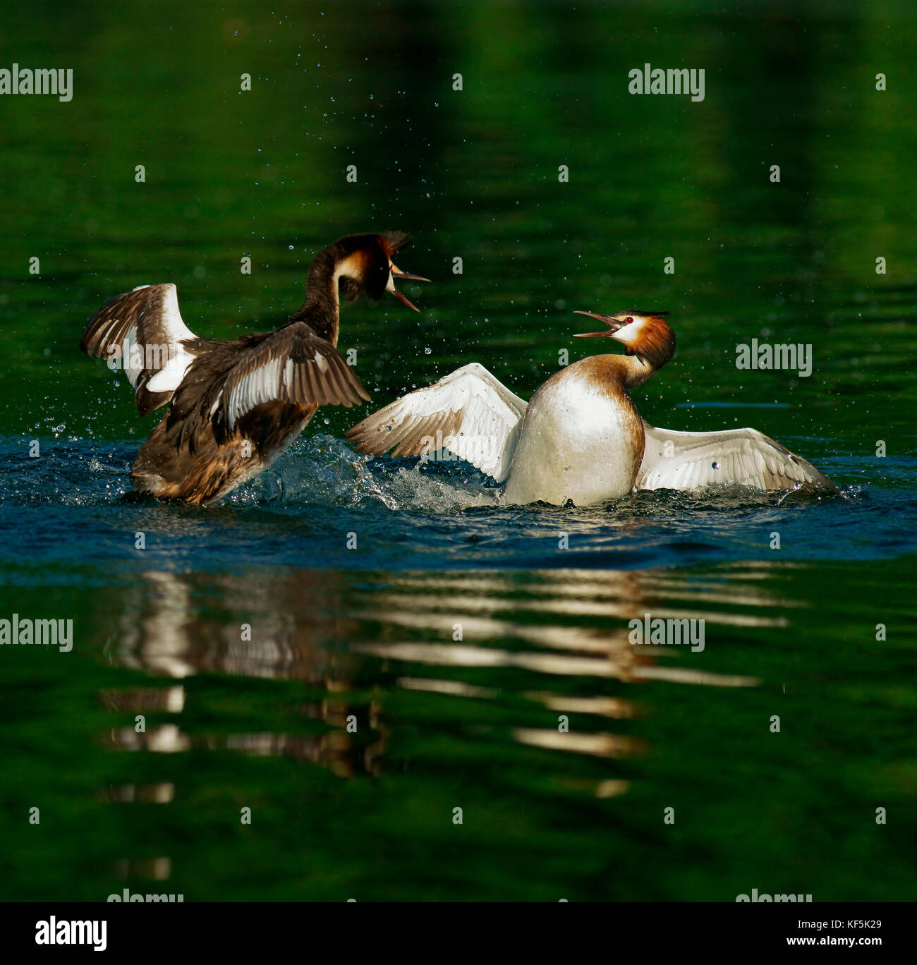 Great crested grebes (Podiceps cristatus), district combat, Feldberger Seenlandschaft, Mecklenburg-Western Pomerania, - Stock Image