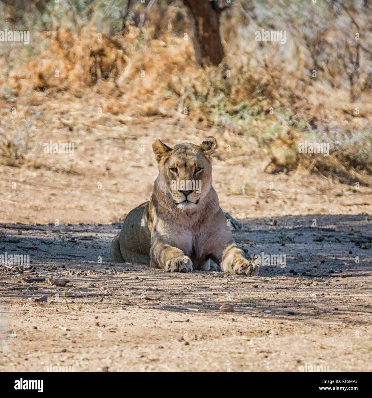 A Lioness resting in the shade of a tree in the Namibian savanna - Stock Image