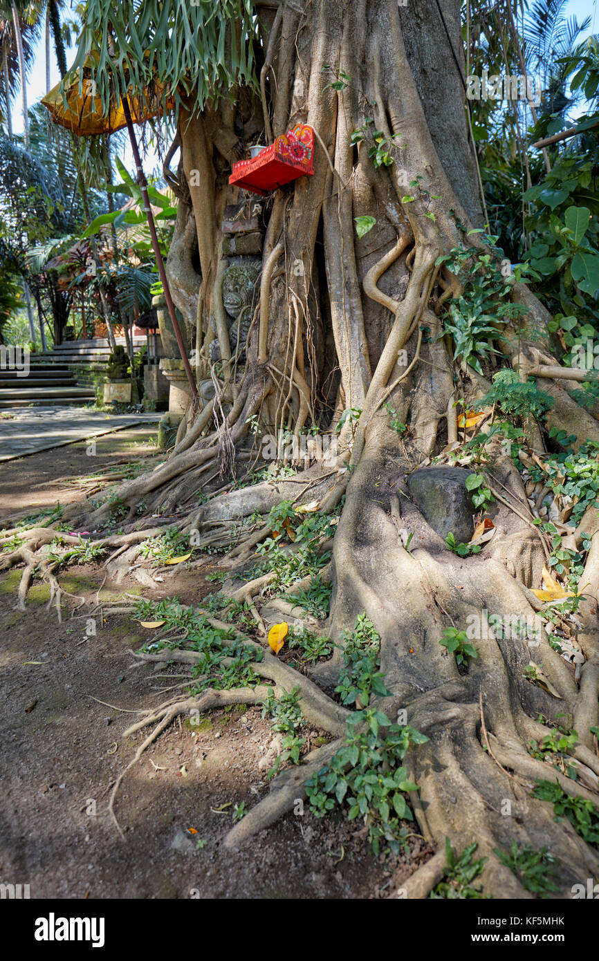 Roots of a Bodhi tree (Ficus religiosa) growing at the Agung Rai Museum of Art (ARMA). Ubud, Bali, Indonesia. Stock Photo