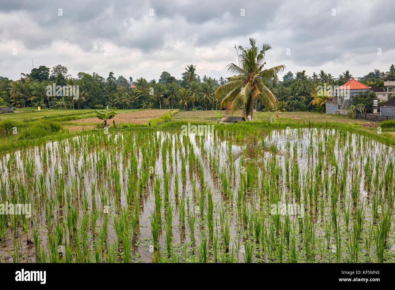 Kajeng Rice Fields. Ubud, Bali, Indonesia. - Stock Image