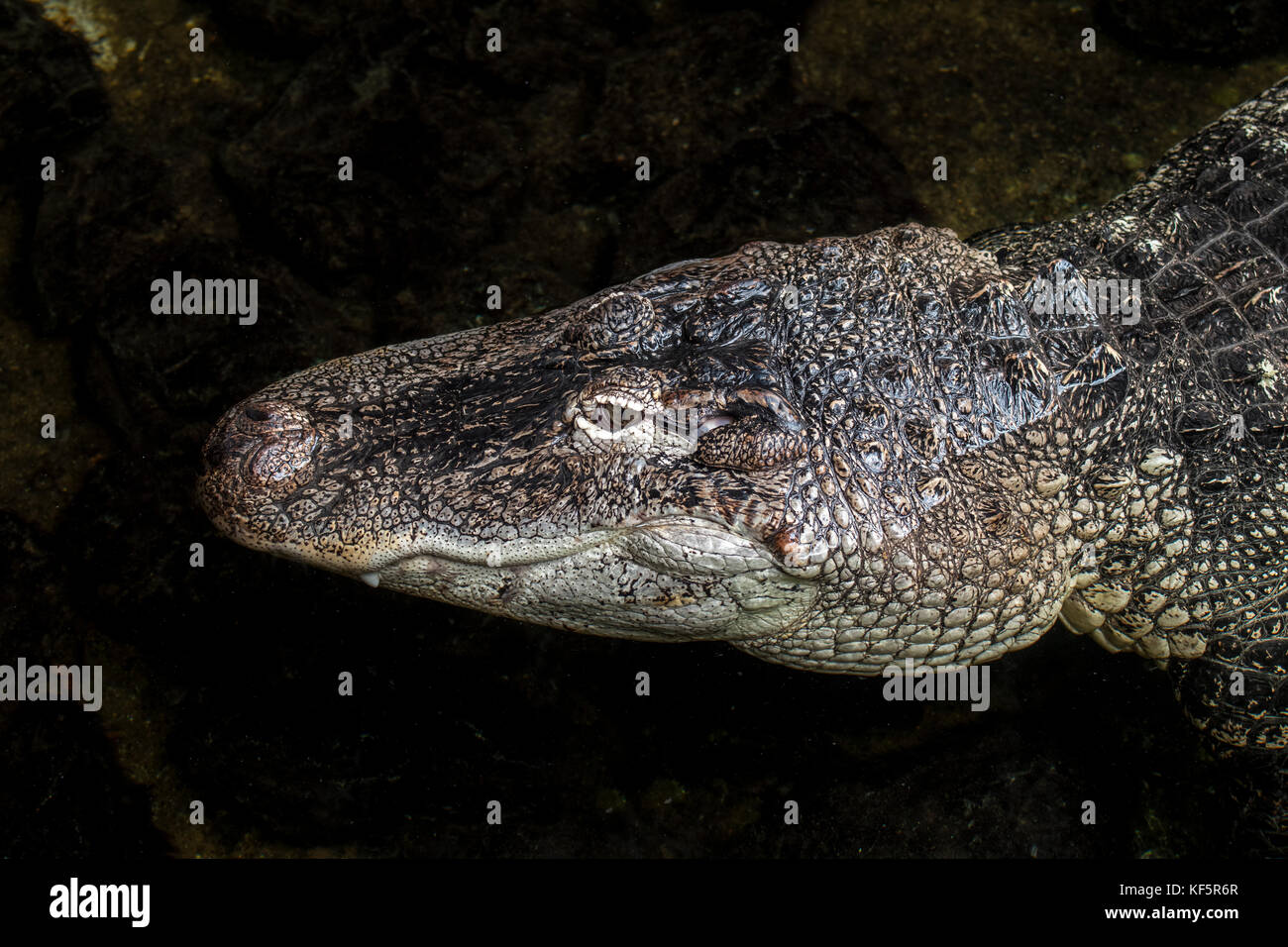American alligator / gator / common alligator (Alligator mississippiensis) close up of head - Stock Image