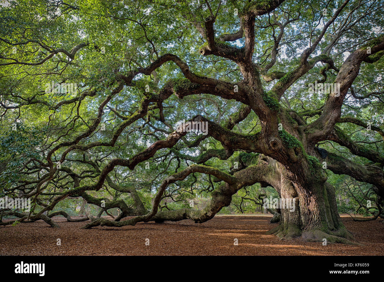 Angel Oak Tree is a Southern live oak (Quercus virginiana