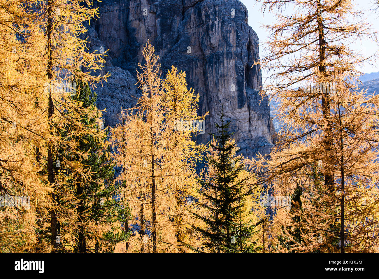 Larches in the fall Stock Photo