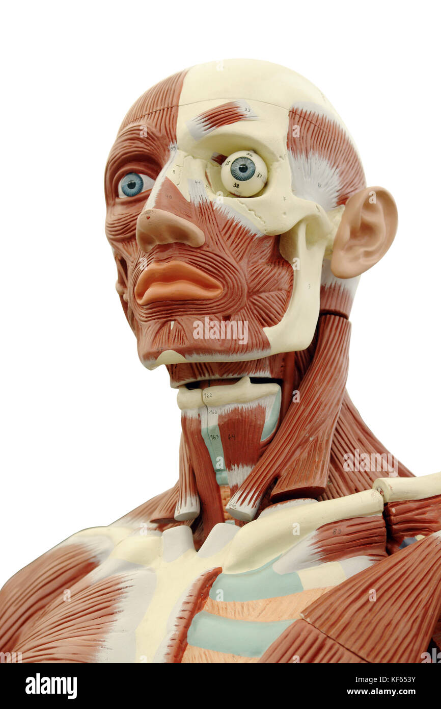 Human anatomy - structure of head muscles and tendons Stock Photo ...
