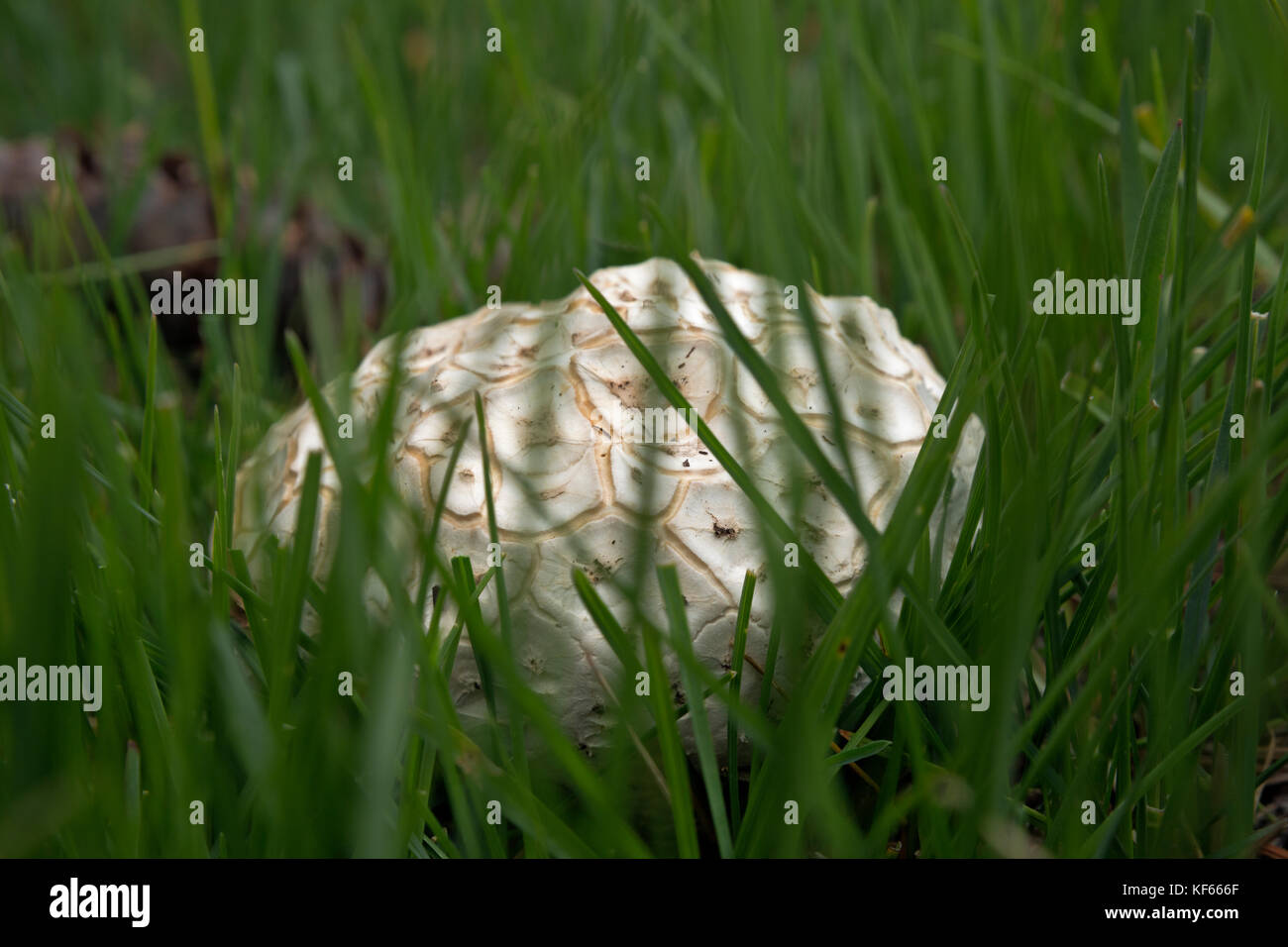 WY02479-00...WYOMING - An unusual mushroom found in a meadow near Taggart Lake in Grand Teton National Park. - Stock Image