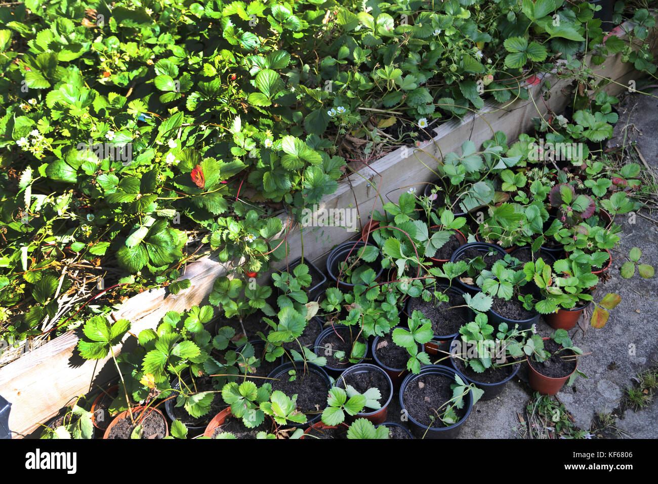 Strawberry Runners Being Potted In Garden Surrey England - Stock Image